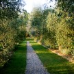 Cobblestone walkway through the olive trees