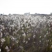A beautiful cotton field