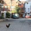 A rooster walks across the dusty cobblestone street in town.