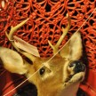 Taxidermy deer head tucked inside a red, wrought-iron garden chair.