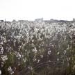 A beautiful cotton field